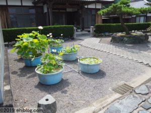 西福寺のハス