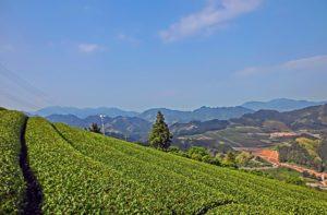静岡での茶畑
