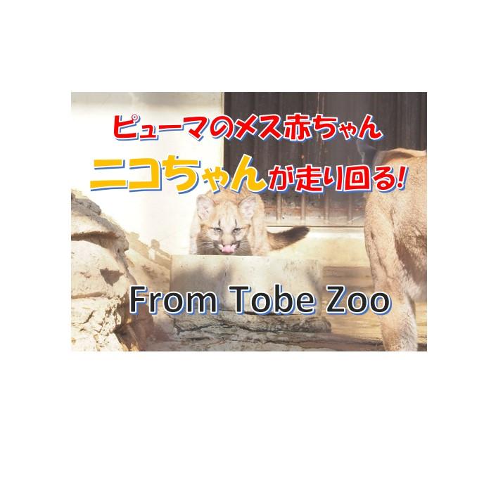 砥部動物園のピューマ