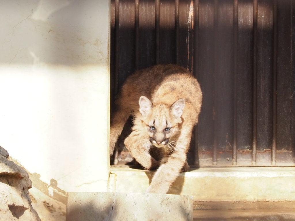 砥部動物園のピューマ6