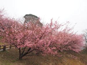 2020年2月大角海浜公園の河津桜