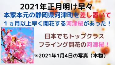 【2021年版】本家の静岡河津町を差し置いて、フライング開花した愛媛の河津桜はコレだ!【時期と名所まとめ】