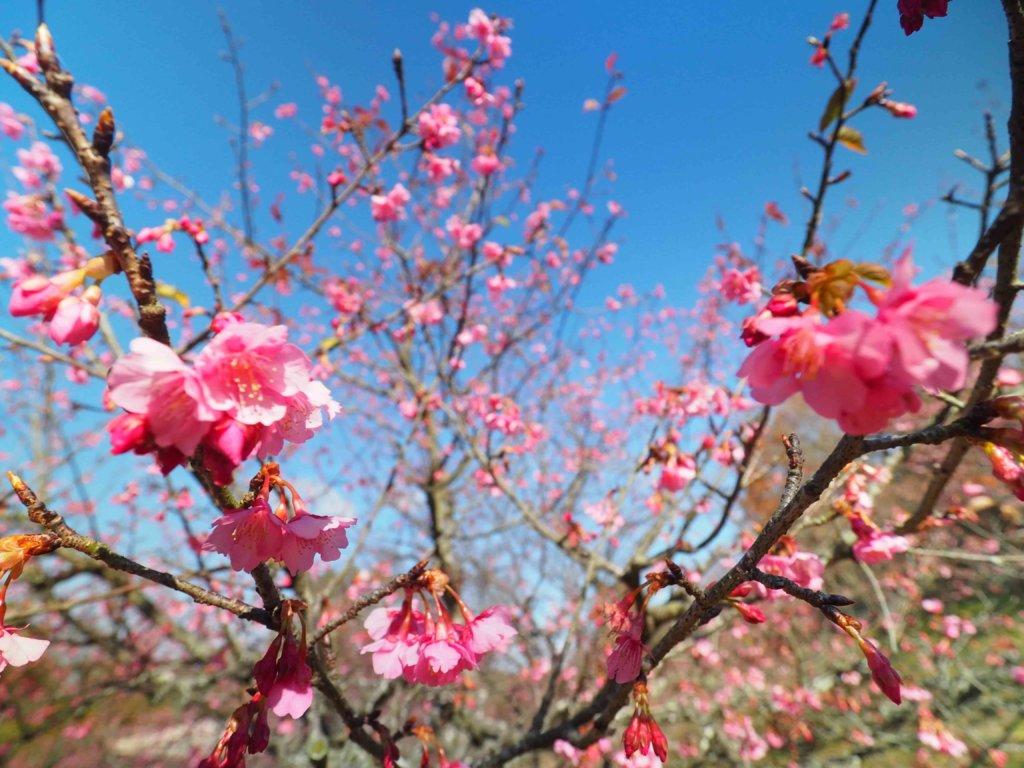 2021年、のまうまハイランドの河津桜