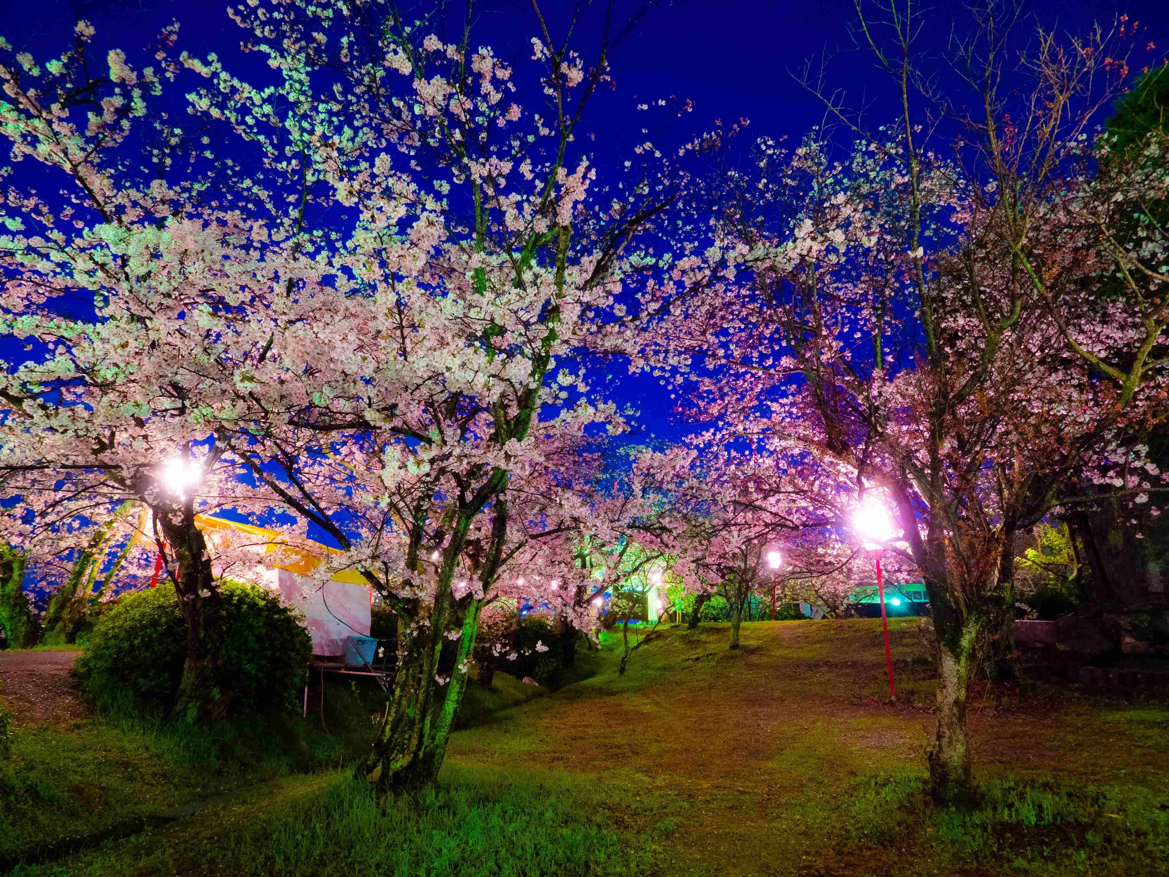西条市「武丈公園」の夜桜