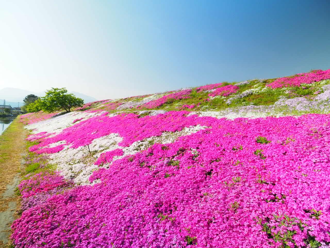 西条市「禎瑞の芝桜」