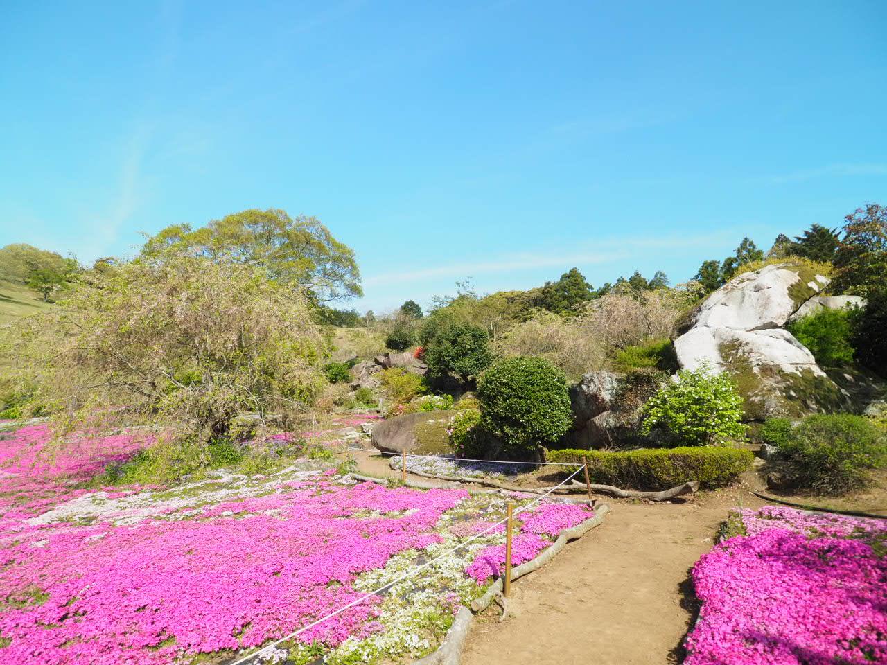 宇和島市「山本牧場」芝桜