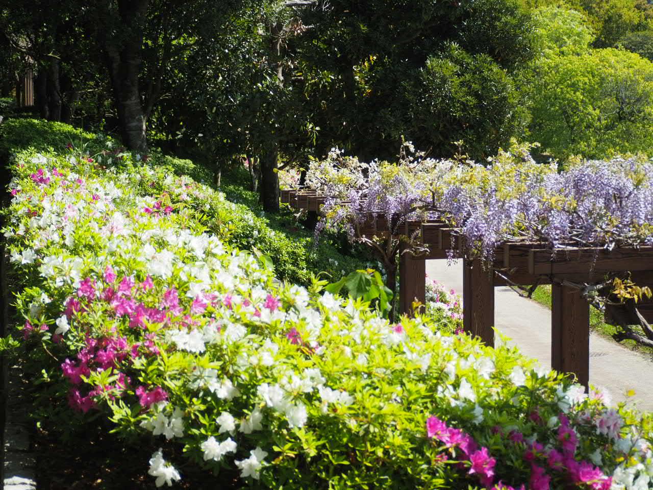 宇和島市「南楽園」のツツジ